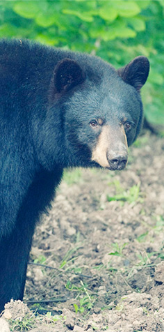 Missouri black bear