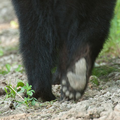 Missouri black bear walking away