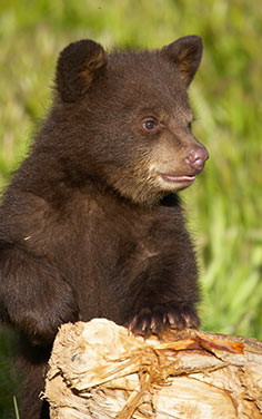 Missouri black bear cub leaning on log