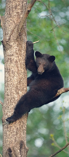 Missouri black bear in tree