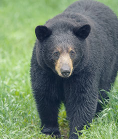 Missouri black bear in field
